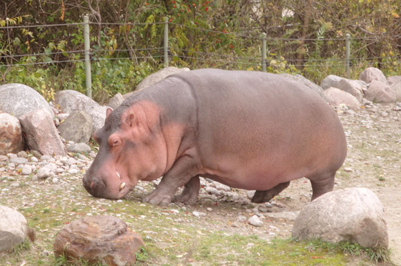 A Hippo - one of the many animals at the Toronto Zoo located in Scarborough