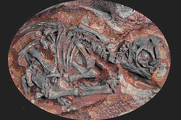 This is what Reisz and Diane Scott found when he opened the shell of a fossilized egg. Measuring approximately 6 inches long, the embryonic skeleton of the Massospondylus carinatus dinosaur was still preserved inside its egg