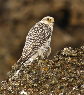 The Gyrfalcon that was spotted in Scarborough is similar to the one pictured. These birds are native of Europe and usually are domesticated in Canada.