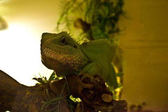 Chubbs the lizard hanging out at All Reptiles.