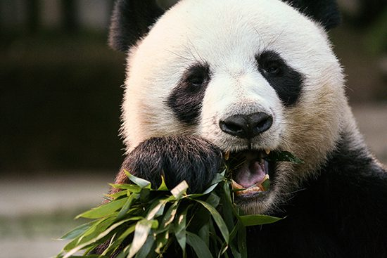 The Toronto Zoo will be welcoming two giant pandas on March 25th. They will call the zoo home for the next five years.