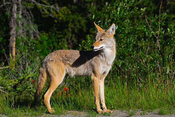Coyotes may be more prevalent in urban areas, such as Scarborough, but that does not mean they are more harmful.