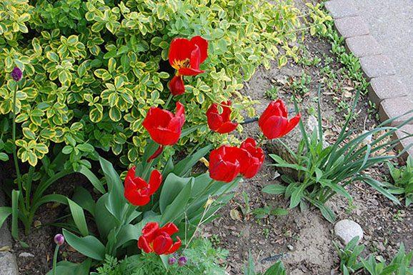 Tulips add colour to a Scarborough garden.