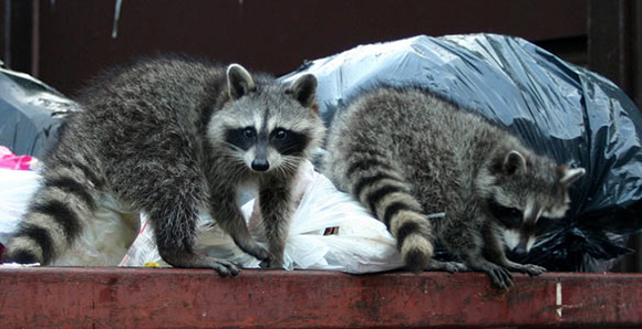 Toronto has the second highest density of urban wildlife next to Paris, France. Raccoons make a large part of that population.