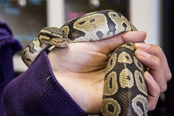 A photo of one of the friendliest snakes in the All Reptiles store at 1911 Kennedy Rd. in Scarborough.