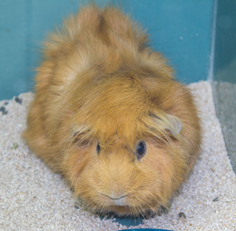 "A guinea pig, named Shirley, for sale. A good ""starter"" pet according to Derrick Cuber at Muddy Paws in the Guild"