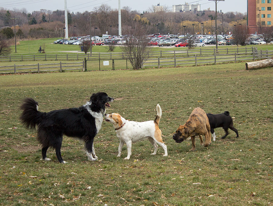 Simba, on the left, and Missy next to her join their pals at the Thompson Dog Park.