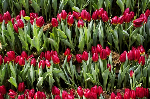 Tulips blooming at this year's Canada Blooms.