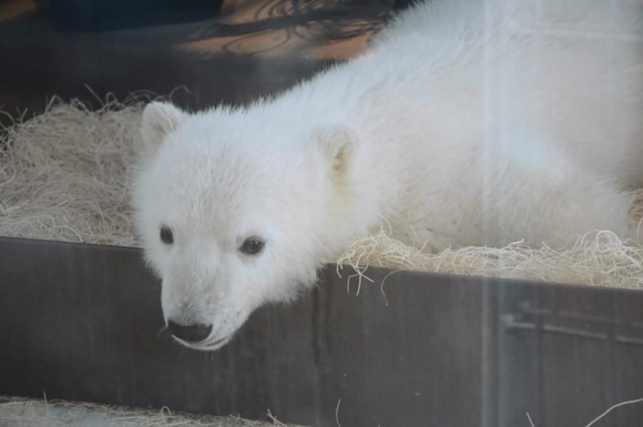 Humphrey, the 4 month-old polar bear cub looks out of his enclosure onto his many admirers.