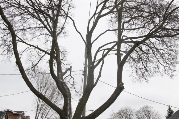 Ice Storm 2013: A year later, Toronto trees still at risk, experts warn