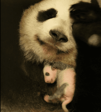 Er Shun continues to be a great mother and the cubs are progressing very well.