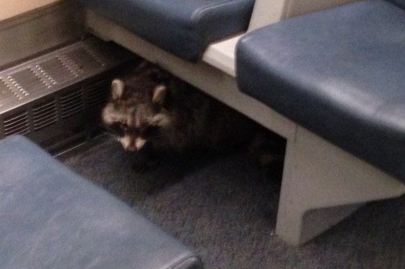 "Raccoon, nicknamed ""Rocky,"" is shown hiding under seat in photo released by transit official."