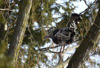 Wild Turkeys are one of the highlights of bird watching at High Park.