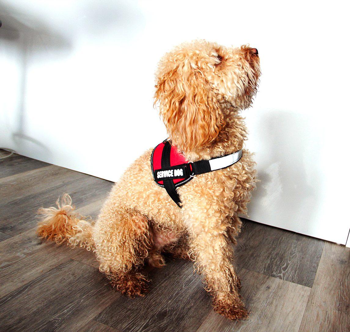 Dog in vest